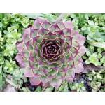 Молодило (Sempervivum arachnoideum) Каменная роза