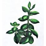 Крассула, Толстянка (Crassula)