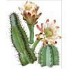 Цереус (Cereus)
