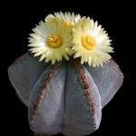 Астрофитум (Astrophytum)