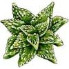 Фаукария (Faucaria)