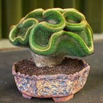 Кристатные формы кактусов
