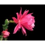 Кактусы цветущие крупными цветками