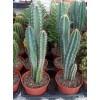 Столбовидные кактусы