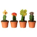 Вариегатные кактусы