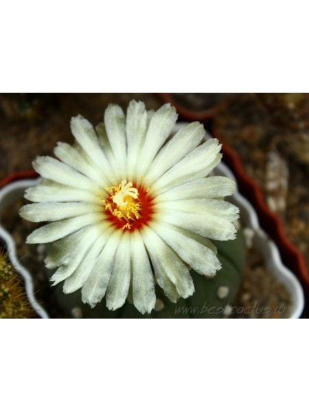 Астрофитум звёздчатый (Astrophytum asterias)