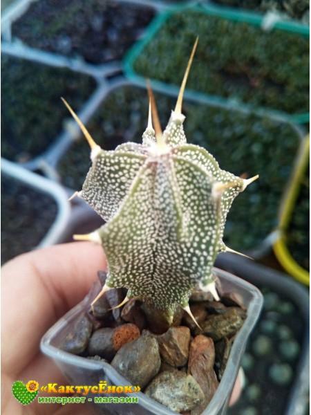 Астрофитум украшенный (Astrophytum ornatum)