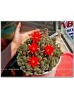 Черенок Хамецереус сильвестра (Chamaecereus silvestrii) красный цветок