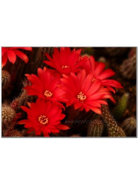 Хамецереус сильвестра (Chamaecereus silvestrii) красный цветок