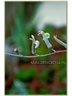 Хавортия притуплённая (Haworthia retusa)