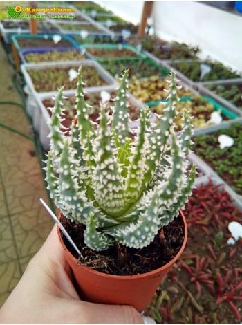 Алоэ приземистое (Aloe humilis, алоэ хумилис) с ярко выраженными шипами