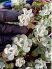 Черенок Седум лопатчатолистный Кейп Бланко (Sedum spathulifolium Cape Blanco)