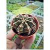 Гимнокалициум фридриха (Gymnocalycium mihanovichii var. Friedrichiae гимнокалициум михановича разновидность фридриха)
