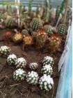 "Черенок Маммиллярия культивар ""оруга"" (Mammillaria gracilis cv. Oruga Blanca)"