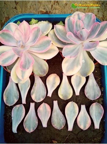 2 листовых черенка Эхеверия Радужная (Echeveria Rainbow)