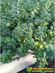 2 черенка очиток коротколистный (Sedum brevifolium, седум бревифолиум)