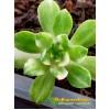 Черенок Эониум кастелло-пайвае вариегатный (Aeonium castello-paivae variegatum)