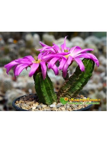 Эхиноцереус Моррикала (Echinocereus viereckii subs. morricalii Эхиноцереус вейреки форма моррикали)