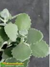 Черенок Каланхоэ Миллота (Kalanchoe millotii)