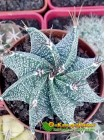 Астрофитум Орнатум (Astrophytum ornatum)