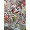 Черенок каланхоэ трубкоцветный (Kalanchoe tubiflora, каланхое тубифлора)