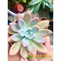 2 листовых черенка Граптоверия Опалина (Graptoveria «Opalina»)