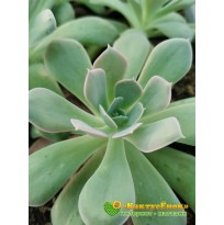 """2 листовых черенка Эхеверия грей принц (Echeveria """"Grey Prince"""")"""