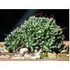 Черенок Маммиллярия Паинтери (Mammillaria Painteri f. monstruosa)
