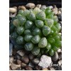 2 листовых черенка Хавортия купера пилифера (Haworthia cooperi var. pilifera)