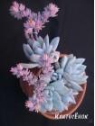 2 листовых черенка Пахиверия экзотика (Pachyveria Exotica, Пахиверия «Паудер Пафф» Pachyveria 'Powder Puff')