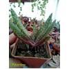 Гастерия бородавчатая (Gasteria verrucosa, гастерия веррукоза)