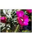 Опунция черепитчатая (Opuntia imbricata)