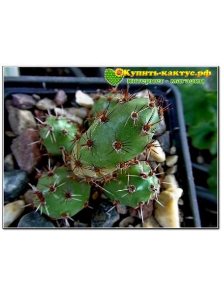 Тефрокактус яйцевидный (Tephrocactus ovatus)