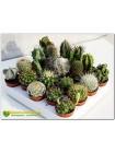 Набор из 20 элитных видов кактусов