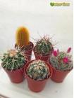 """Набор """"Коллекционер кактусов 5"""" (5 коллекционных растений, горшки, грунт, инструкция по уходу за набором, книга в электронном виде, сюрприз)"""