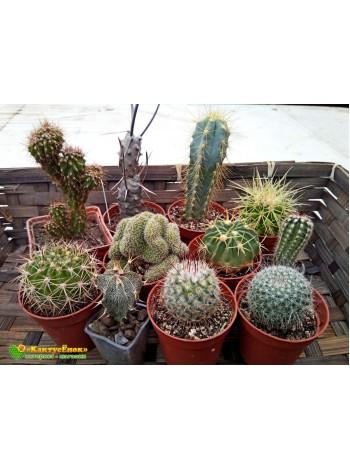 """Набор """"Любитель кактусов 10"""" (10 кактусов, грунт, инструкция по уходу за набором, книга в электронном виде, сюрприз)"""