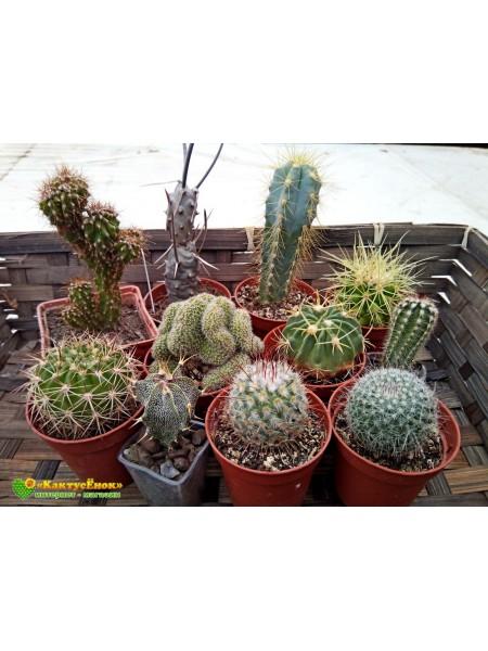 """Набор """"Любитель кактусов 10"""" (10 редких кактусов, грунт, инструкция по уходу за набором, книга в электронном виде, сюрприз)"""