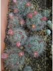 Маммиллярия бокасская (Mammillaria bocasana)