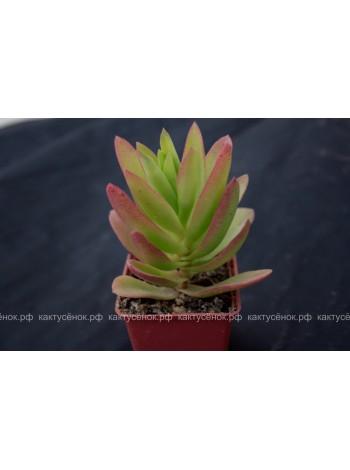 Крассула эрозула культивар кэмпфаер (Crassula erosula cv. Campfire)