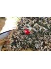 Маммиллярия вобурнская (Mammillaria voburnensis)