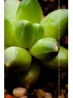 Пахифитум компактный (Pachyphytum compactum)