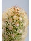 Маммиллярия удлинённая с жёлтой колючкой (Mammillaria elongata)
