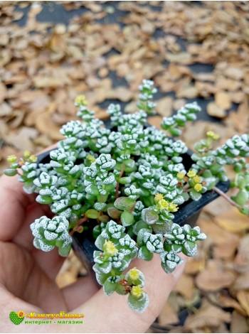 Черенок Крассула коралловая (Crassula corallina, крассула кораллина)