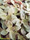 Черенок крассула точечная (Crassula picturata)