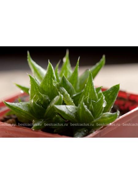 Хавортия Бейтса (Haworthia batesiana)