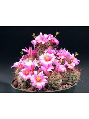 Маммиллярия мазатланенсис (Mammillaria mazatlanensis)