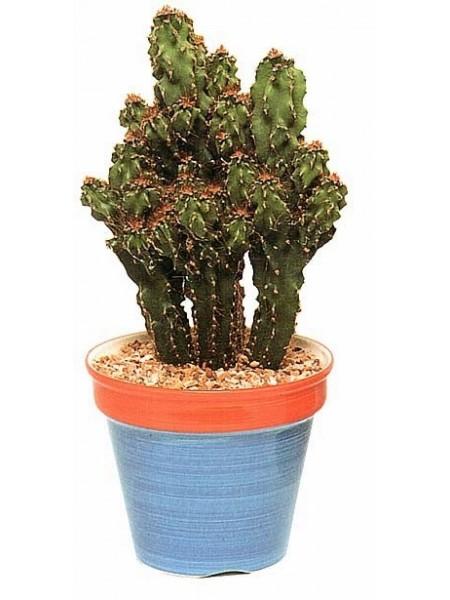 Скалистый кактус с бурыми колючками. Скалистый цереус, цереус перуанский монстрозная форма (Cereus peruvianus f. monstrosa) 60-70 мм