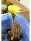 Эхинопсис золотистый (Echinopsis (Lobivia) aurea v. Shaferi)