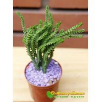 Черенок Крассула (Толстянка) плауновидная (Crassula lycopodioides)