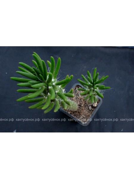Аустроцилиндропунция шиловидная (Austrocylindropuntia subulata)